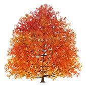 Fall Oak Tree Clipart