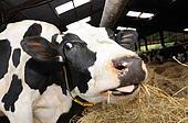 如何辨别初配母牛怀孕
